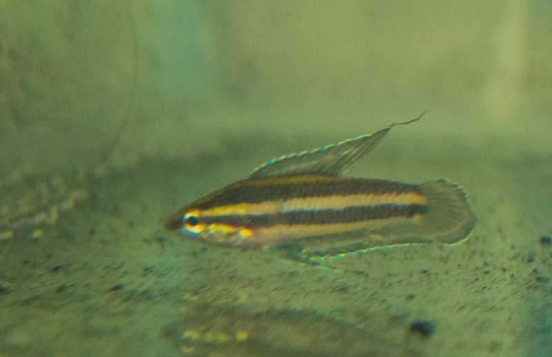 Parophoenicurus-male2.jpg