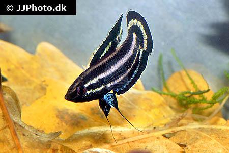 parosphromenus_species_cf_harveyi_1.jpg